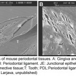 SEM images of mouse periodontal tissues